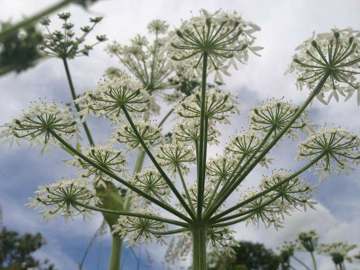 Yard MD Blog: Invasive giant hogweed and its native lookalike.  Pictured here is native cow parsnip.