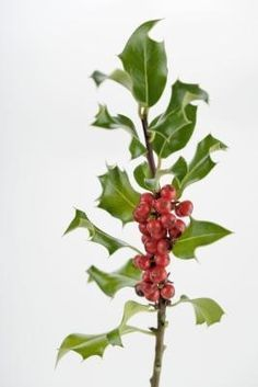 How to Propagate Holly Plants
