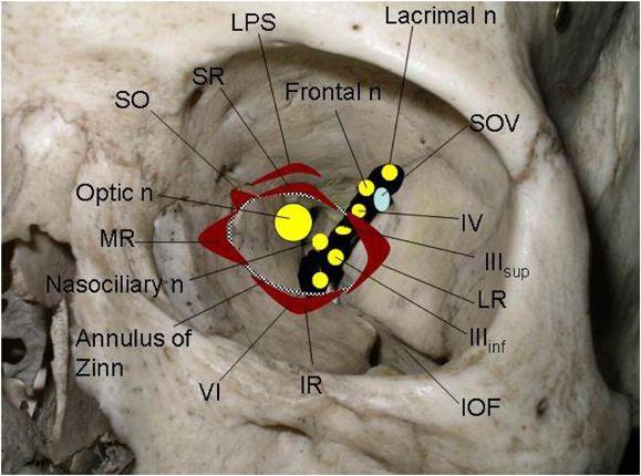 supraorbital fissure - Google 検索