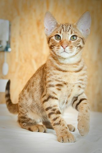 Ocicat -- bright, easily trained, very affectionate.  becomes very attached to the people in it's family but is not demanding.  does well in a household with other pets. usually extroverted and friendly with strangers.  being very sociable, it doesn't like being left alone for long periods.