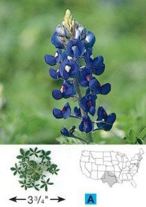 "Texas Native Wildflower Bluebonnet 50 Seeds by David's Garden Seeds by David's Garden Seeds. $4.12. No genetic engineering used in the production of these seeds. Beautify your home with your home grown flowers. Days to Maturity: 78. Germination rate: 60%. Grow your own fresh flowers. A hardy winter annual native to Texas. Adopted as the ""State Flower of Texas"", this is the most commonly seen variety along roadsides and in uncultivated pastures throughout the state. Flowers are..."
