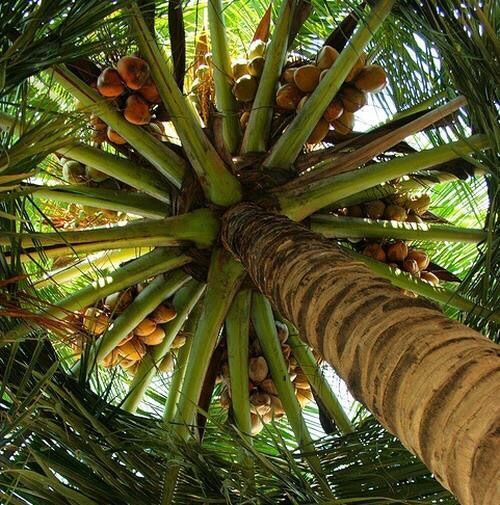 Falling coconuts kill more people then Sharks !