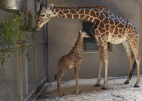 World famous giraffe cam is back online   WFLA.com