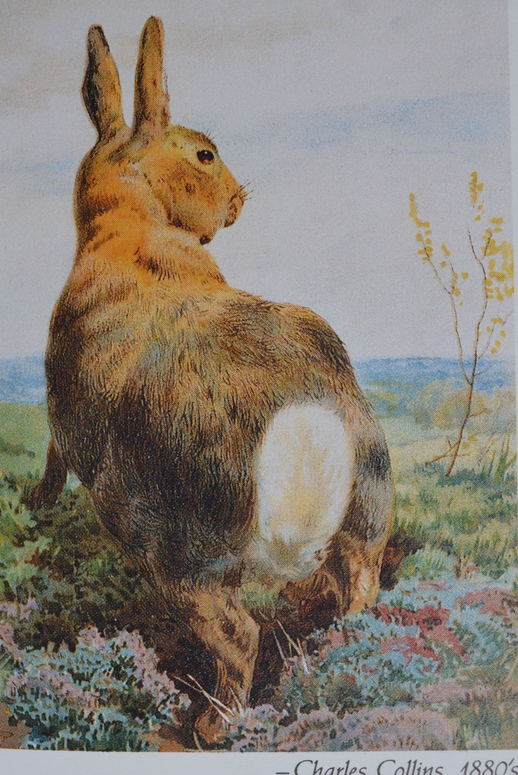 Vintage cotton tail Rabbit - Charles Collins 1880