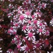 Aster lateriflorus Lady in Black - deep purple foliage that's smothered in sprays of white flowers with dark pink centres