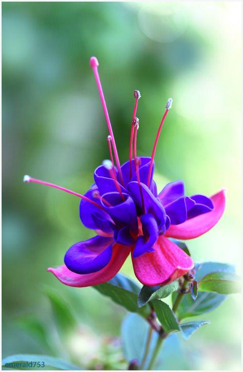 Fuchsia / Brinco de Princesa #flor