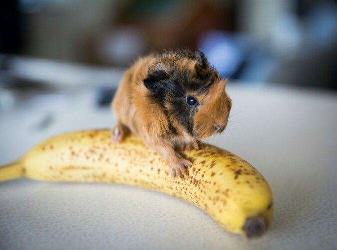 Newborn baby guinea pig