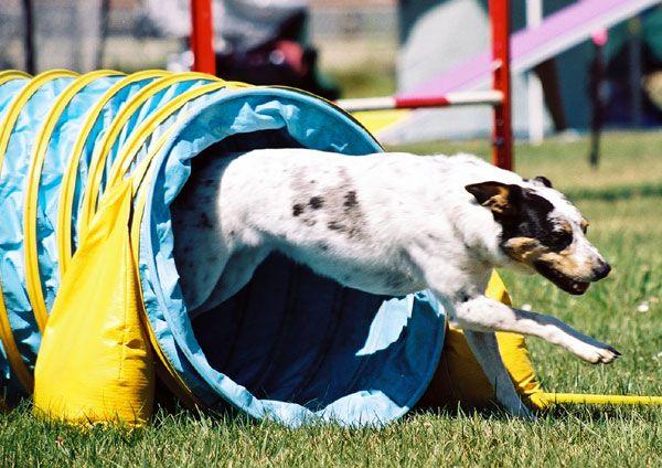 Un perro de raza mixta demuestra su capacidad de una prueba de agilidad.
