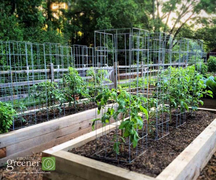 """My """"ultimate tomato cages"""" at work in the GGWTV garden. There are 24 and counting!"""