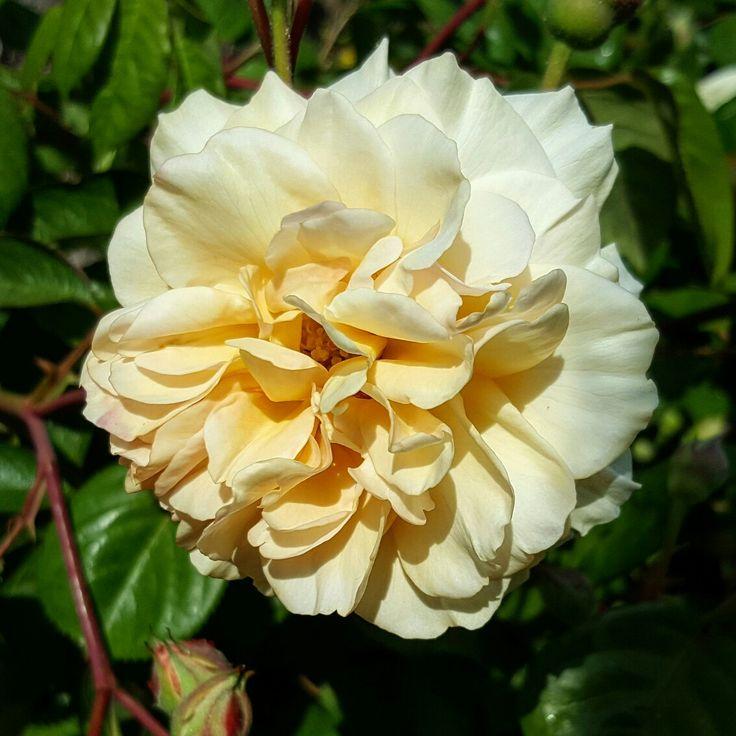 Rose at Wightwick Manor