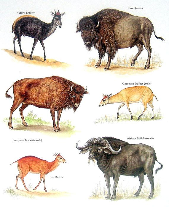 Bovids - Bison, Yellow Duiker, African Buffalo, Common Duiker - Vintage 1980s Book Plate Page