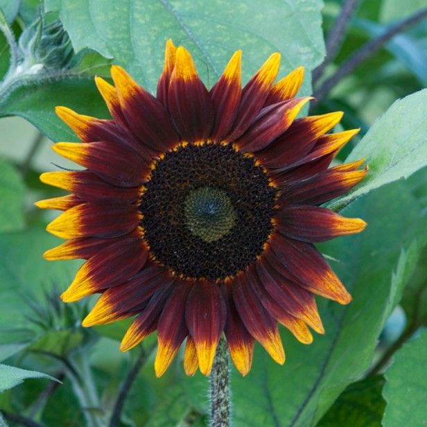 17 Best Images About Sunflowers/black Eyed Susans On