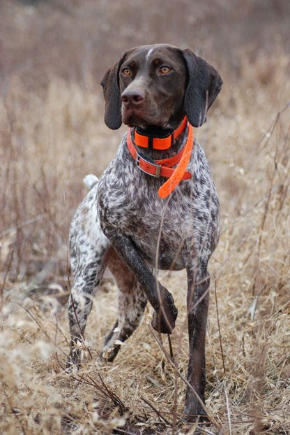 German shorthaired pointer - one of the best dog breeds. my dad does bird hunting and has several pointers, so were used to seeing this stance...