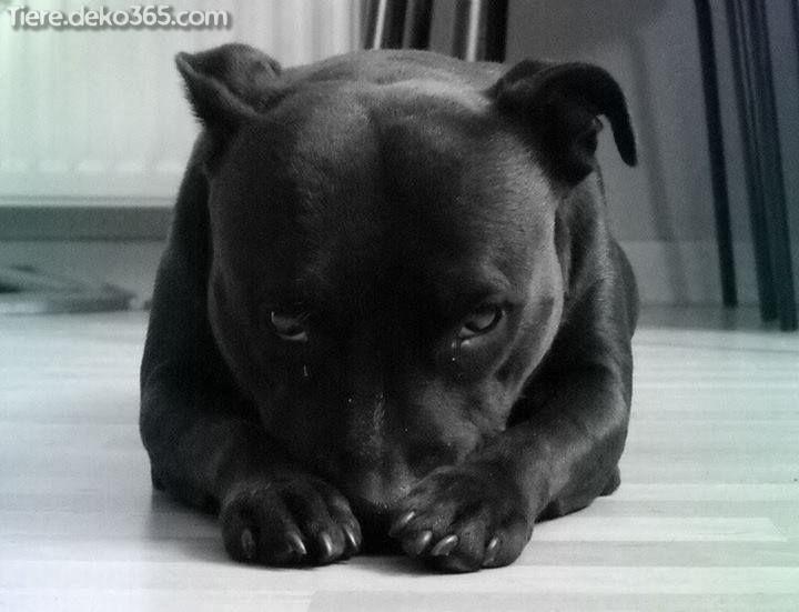 Die Besten Besten Bilder Von Schwarzen Pitbull Pitbull Terrier Cute Animals Bull Terrier
