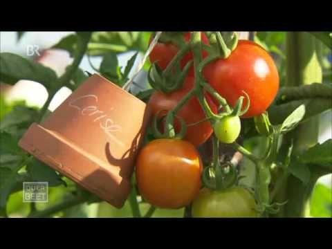 Zwiebeltee als Schutz gegen Pilzkrankheiten, insbesondere zum Schutz von Tomaten vor der Kraut- und Braunfäule