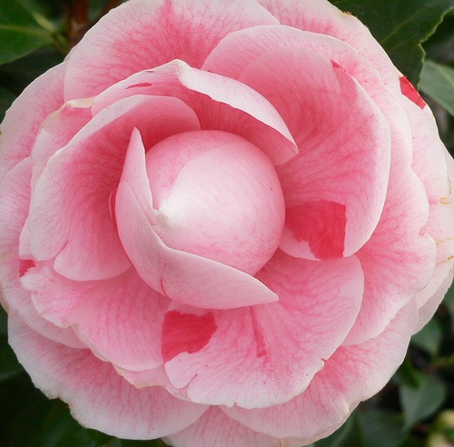 Pink camellia: Sweet Pink, Beautiful Flowers, Pink Camellia, Gardens Design, Camellia Japonica, Photo, Japan Camellia, The Sea, Camellia Camellia