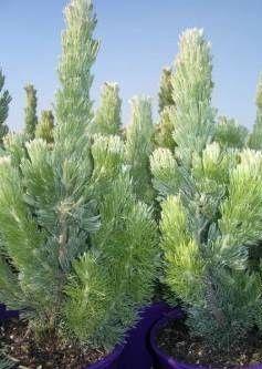 Woolly bush (Adenanthos sericea) - SHRUBS - a low maintenance Western Australian…