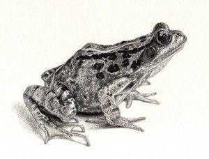 A Frog Drawing - emilywallis.com