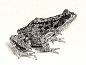 25+ best ideas about Frog drawing on Pinterest | Tree frog ...