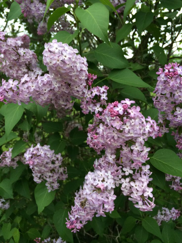 Lilacs blooming.