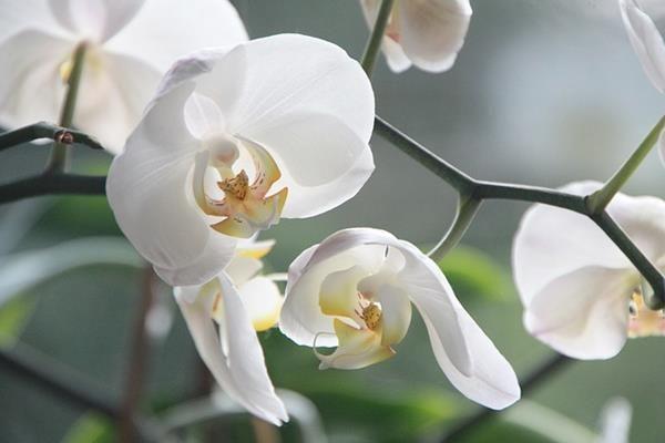 Orchidea, virágzás. Több tucat bimbó egyetlen száron. Hogyan tartható sokáig életben a gyönyörű növény?