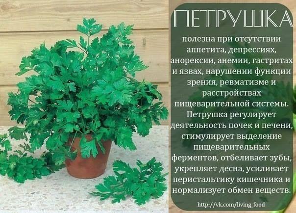 Петрушка - вит.А (зрение)
