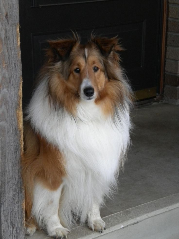 https://flic.kr/p/7YGW8M | beautiful sheltie