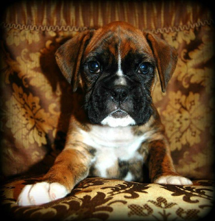 Good Brindle Boxer Bow Adorable Dog - 122bd79849671acff09b90ea7ec89114--tsunami-adorable-babies  Collection_935142  .jpg