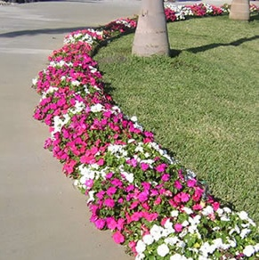 Walk way border....love it!  Impatiens offer great spring & summer color!