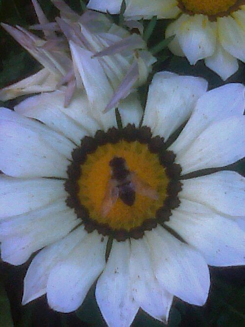 Bee on a white flower bees honey pinterest mightylinksfo