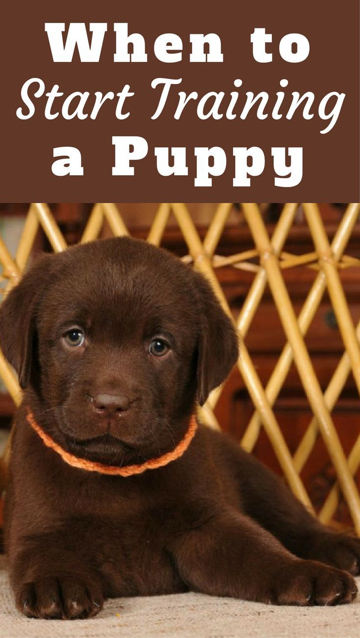 When To Start Training A Puppy What Age Can You Begin Puppers