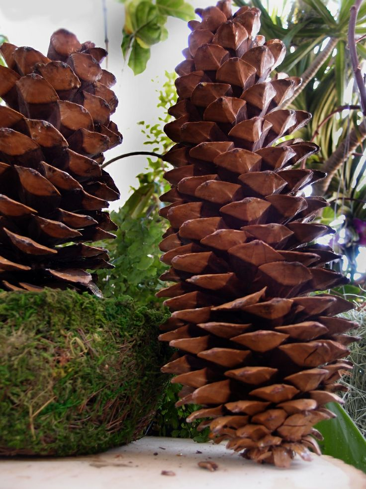 1000 images about sugar pine cone decorations on for Large christmas pine cones