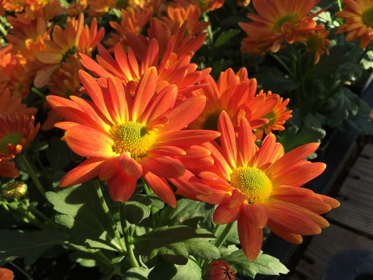 Giving a Chrysanthemum plant is usually a symbol of cheerfulness and a way to tell a person that you value their friendship. Colors can denote a special meaning too!