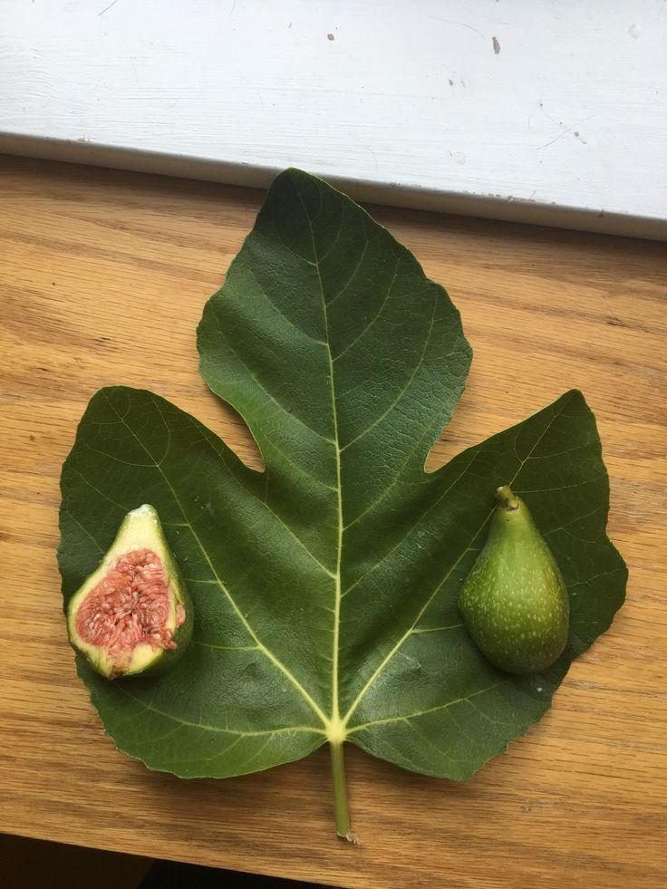Please help me identity what type of fig this is (Seattle WA) #gardening #garden #gardens #DIY #landscaping #home #horticulture #flowers #gardenchat #roses #nature