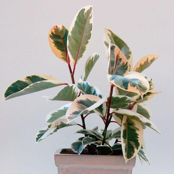Variegated Rubber Plant 'Variegata' (Ficus elastica)   My Garden Life