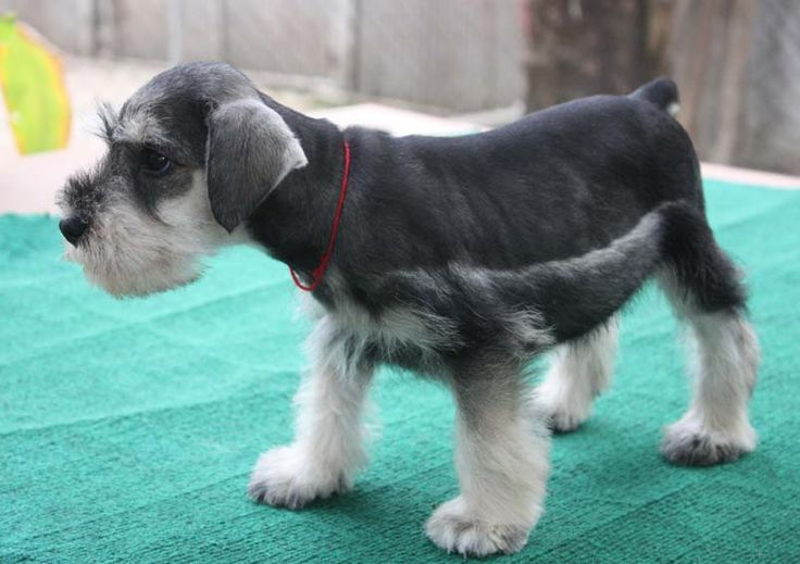 1000+ images about Mini Schnauzers on Pinterest ...