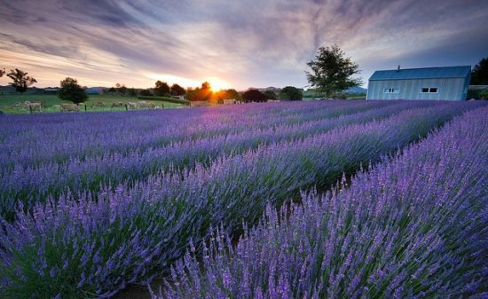 19 Uses for Lavender Essential Oil