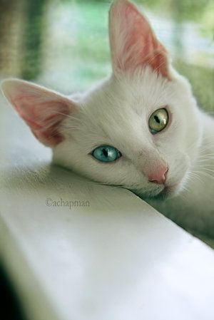 2 different eye colors eye cat