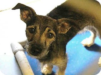 Mesa, AZ - Miniature Schnauzer Mix. Meet A3853013, a dog for adoption. http://www.adoptapet.com/pet/17064505-mesa-arizona-miniature-schnauzer-mix