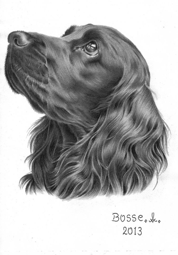 Cocker Spaniel by Torsk1 on deviantART