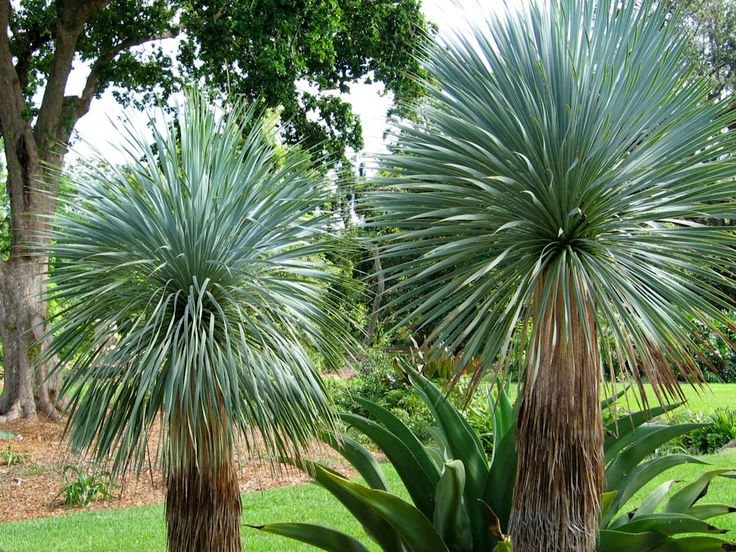 Yucca Tree | ... two yucca trees there are about 50 ...