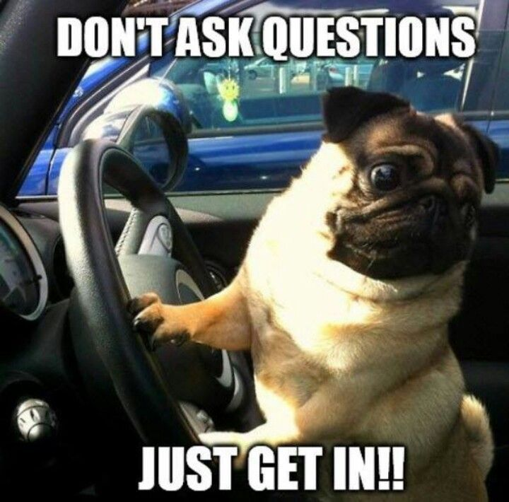 Don T Ask Questions Just Get In Pug Pugs Funny Pugs