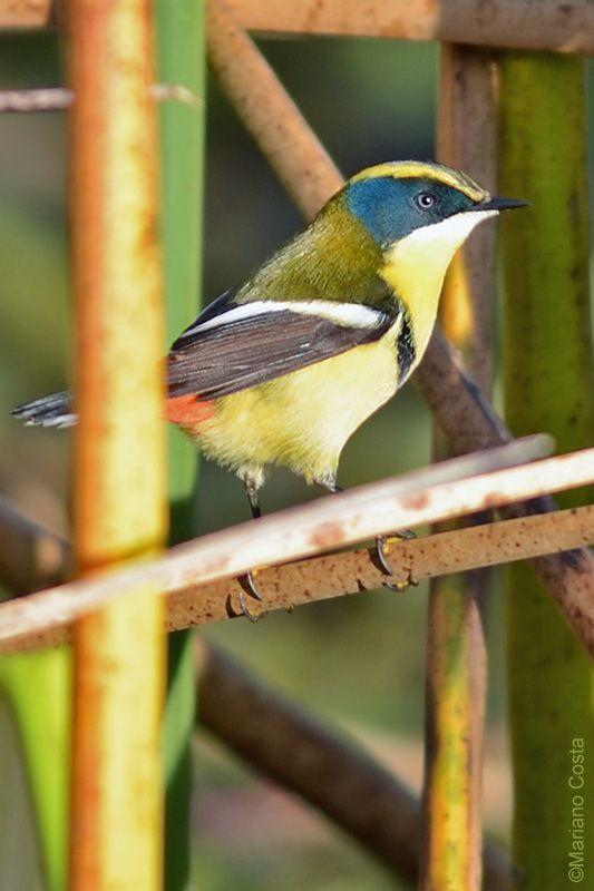 Tachuris rubrigastra - Tachuri Siete Colores - Freebirds