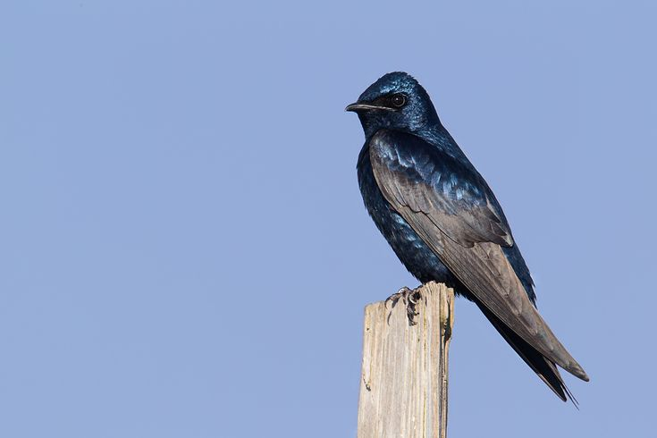 Purple Martin (Colorful Birds)