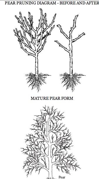 pear pruning diagram