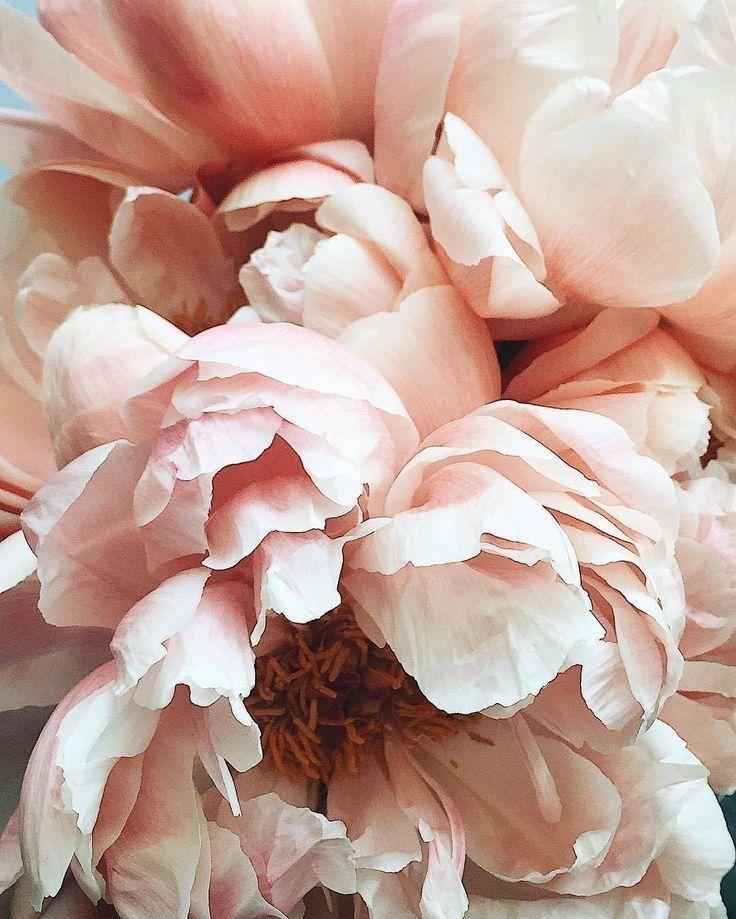 Цветы нежные картинки пионы
