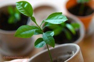 Planter des pépins d'agrumes