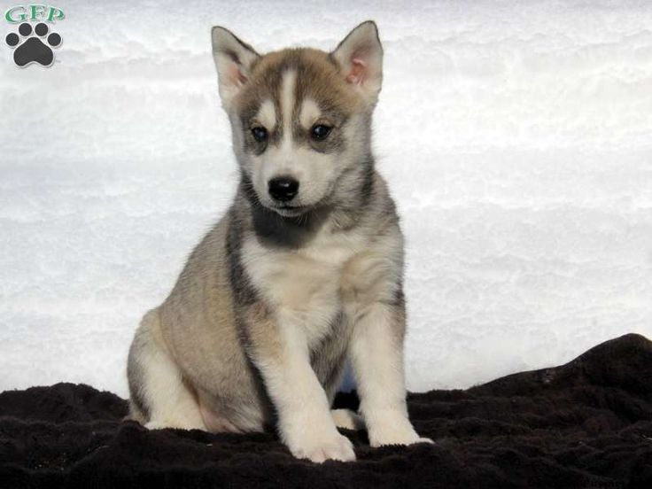 Check out these beautiful Siberian Husky puppies from top breeders!    The Siberian Husky is known for being a loving family dog but also exhibits the ancestral behavior of its ancestor the Wolf. With a very strong maternal instinct, the Siberian Husky will do well with kids when properly socialized.