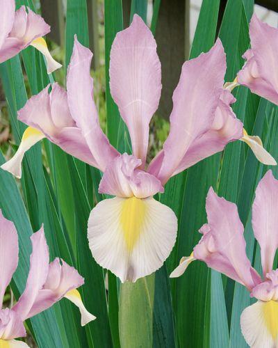 Holland - FEXIN Virághagyma Webáruház virághagymák, virághagyma rendelés, virághagyma, holland virághagyma, virág, gumós virágok, hagymás virágok, tavaszi virágok, nyári virágok, őszi virágok, különleges virágok, kerti virágok, cserepes virágok, dughagyma, tulipán, tulipánhagyma, tulipánok, nárcisz, amarillisz, díszhagyma, jácint, krókusz, virághagyma, virághagymák