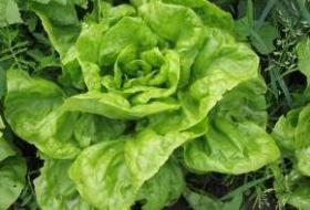Jak správně pěstovat salát